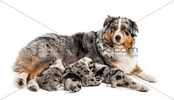 Group of 21 day old crossbreed puppies suckling form mother