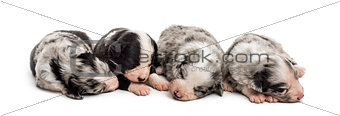 Group of 21 day old crossbreed puppies sleeping together