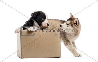 Crossbreed and malamute puppies with a box isolated on white