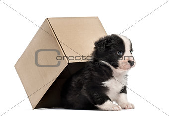 Crossbreed puppy getting out of a box isolated on white