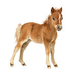 Side view young poney, foal against white background