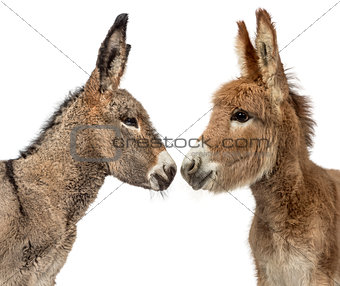 Close up of two Provence donkey foal isolated on white