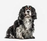 Cavalier King Charles Spaniel, 5 years old, isolated on white