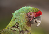 Profile of Macaw parrot