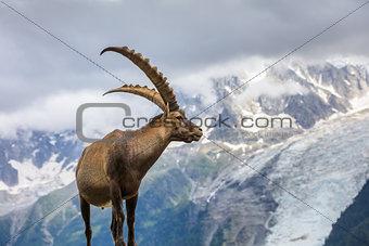 Alpine ibex (Capra ibex) in Mont Blanc, France