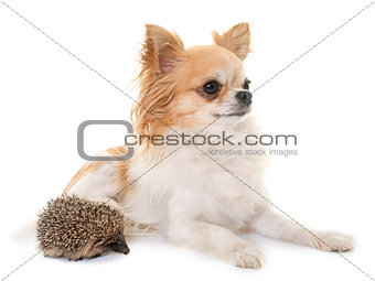 baby hedgehog and chihuahua