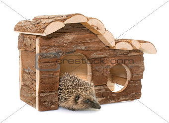 baby hedgehog and house