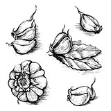 Vector hand drawn set of garlic with laurel leaf. Herbs and spices sketch illustration isolated on white background