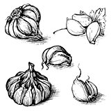 Vector hand drawn set of garlic with parsley. Herbs and spices sketch illustration isolated on white background
