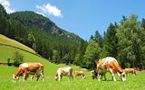 Cows in Tyrolean Alps.