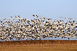 Migrating Snow Geese in Flight