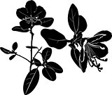 ledum. herb Wild rosemary isolated vector black silhouette