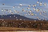 Migrating Snow Geese Fly Up