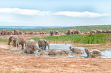 Large group of elephants