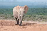Young adult Elephant walking