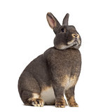 Side view of Perle fée rabbit isolated on white