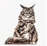 Maine Coon sitting and looking at the camera