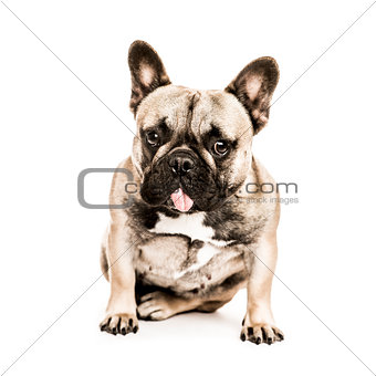 French Bulldog looking at the camera, isolated on white