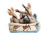 kittens group in a pet basket basket isolated on white