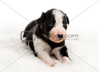 21 day old crossbreed puppy lying on white fur