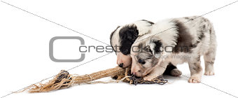 Crossbreed puppies playing with a rope isolated on white