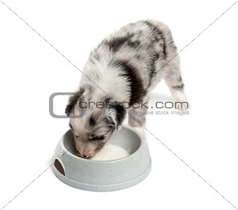 Top view of a crossbreed puppy drinking isolated on white