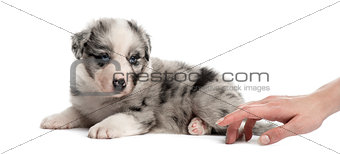 Crossbreed puppy and a human hand isolated on white