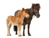 Mother poney and her foal isolated on white
