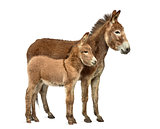 Mother provence donkey and her foal isolated on white