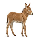 Side view of a Provence donkey foal isolated on white