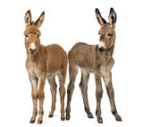 Two young Provence donkey foal isolated on white