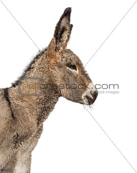 Close up of a provence donkey foal isolated on white