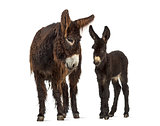 Donkey and her foal, baudet du poitoux isolated on white