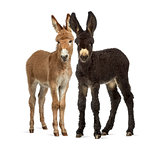 Two donkeys foal, baudet du poitoux isolated on white