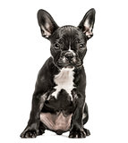 French Bulldog puppy, 10 weeks old, isolated on white