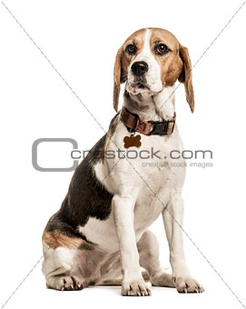 Beagle sitting, 18 months old, isolated on white