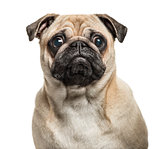 Close-up of Pug looking at camera, isolated on white