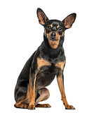 German Pinscher, 2 years old, isolated on white