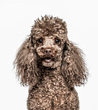 Close-up of Poodle, 6 years old, isolated on white