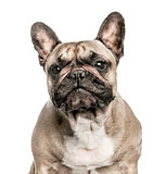 Close-up of French Bulldog, 6 years old, isolated on white