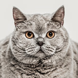 Close-up of British Shorthair, 6 years old, isolated on white