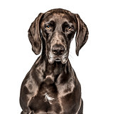 Close-up of German Shorthaired Pointer, isolated on white