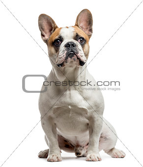 French Bulldog, 9 months old, isolated on white