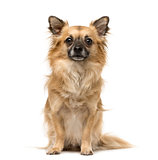 Chihuahua dog sitting against white background