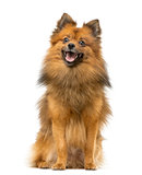 German Spitz dog sitting and panting isolated on white