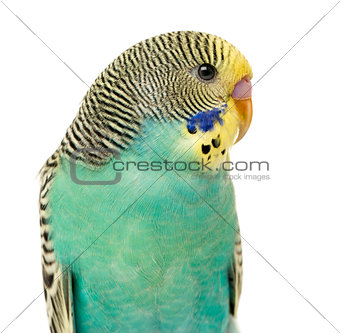 Close up of a Budgerigar parakee isolated on white