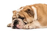 Side view of an English bulldog sleeping isolated on white