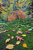 Japanese Maple Tree on a Green Mossy Slope