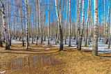 A small puddle at the edge of a birch grove, early spring.