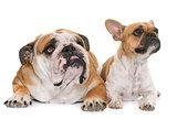 english bulldog and french bulldog